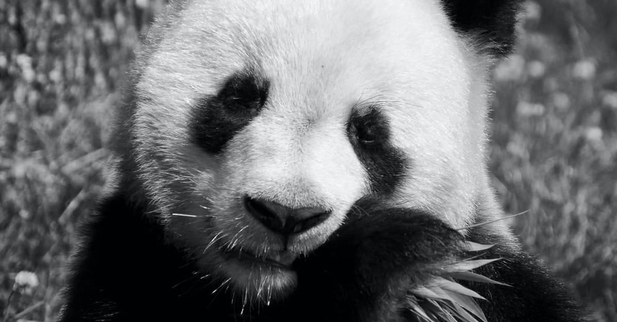 panda_banner